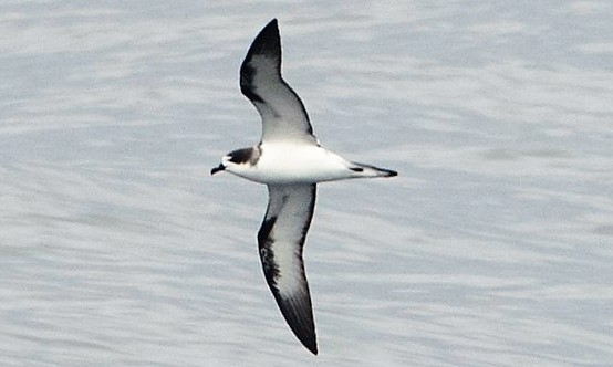 Maui Birding